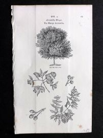 John Loudon 1838 Antique Botanical Tree Print. Macqui Aristotelia